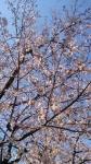 三菱公園に桜が咲きました!